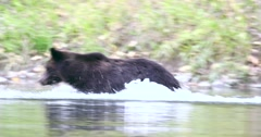 A Grizzly bear chases a fish and swims quickly through the river in Bella Coola. Stock Footage