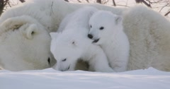 Close up of two Polar Bear cubs wrestling on top of sow. One cub bites the - stock footage