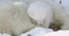 Close up shot of a Polar Bear sow sleeping as her cub chews on her back paw. - stock footage