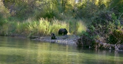 A Grizzly sow and her cub are on shore, eating fish, beside the river. Stock Footage
