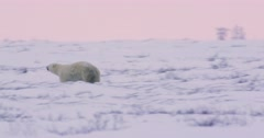 Extreme wide following shot of a Polar Bear sow and her two cubs as they run Stock Footage