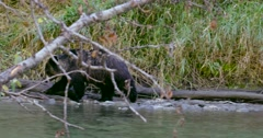 A wide shot of a Grizzly bear cub walking on the rocks at the river's edge. Stock Footage