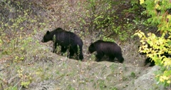 A Grizzly sow and her two cubs walk along a path in the forest. Stock Footage