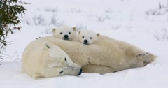 Wide shot of a Polar Bear sow and two cubs resting. Both cubs look at the Stock Footage