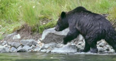 A Grizzly bear exits the river and walks onto the rocky shore. Stock Footage