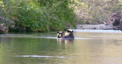 A Grizzly sow and her cub cooling off in a river. The sow walks away from her Stock Footage