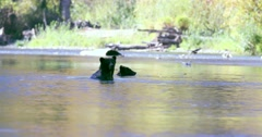 A Grizzly sow and her cub cooling off in a river. The sow stands in the water Stock Footage