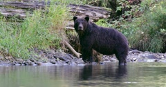 A Grizzly sow is standing at the river's edge and a cub approaches from behind. Stock Footage