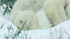 Close up shot of a Polar Bear cub sitting close up to it's mother's side. Cub Stock Footage