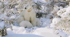 Polar Bear sow and two cubs sitting in a snowy forest. Sow looks in all Stock Footage