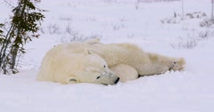 Wide shot of Polar Bear sow and cubs resting in the snow. Stock Footage