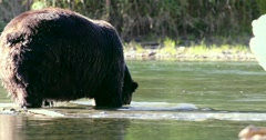 A Grizzly boar grazing on roe at the bottom of a river in Bella Coola. Stock Footage