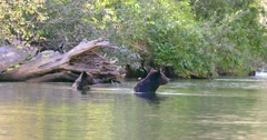 A Grizzly sow and her cub cooling off in the river. The are both looking around. Stock Footage