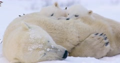 Close up shot of a Polar Bear sow with her two cubs sleeping atop of her. Stock Footage