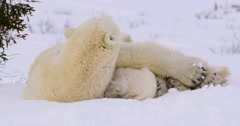 Wide shot with a slight zoom out of Polar Bear sow and cubs resting, sow looks Stock Footage