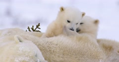 Close up of Polar Bear cub playing on top of sow. Cub places paw on other cubs - stock footage