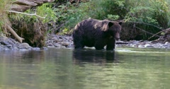 A Grizzly bear wades in a shallow river and then starts to exit the water on a Stock Footage