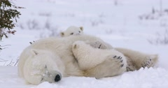 Medium shot, Polar Bear sow sleeps peacefully with one cub in her arms and the - stock footage