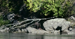 A Grizzly bear eats a fish while standing on rocks at the river's edge. There Stock Footage
