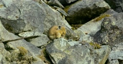 A pika sitting on the rocks and grooming in Bella Coola. Stock Footage