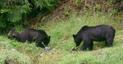 A Grizzly sow and her two cubs eat fish on the grass. Stock Footage