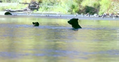 A Grizzly sow and her cub cooling off in a river. They both look at camera then Stock Footage