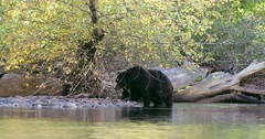A Grizzly sow and her cub exit the river and walk onto the rocky shore. Stock Footage