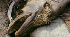 Medium shot of a dead fish with maggots eating it's flesh on a rock. - stock footage