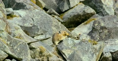 A pika sitting on the rocks and eating a leaf in Bella Coola. Stock Footage