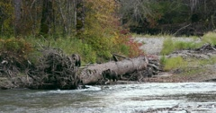 A Grizzly sow and her cub climb on a fallen tree at the edge of a river bank in Stock Footage