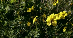 Panning shot of wasps eating nectar from yellow flowers. Stock Footage
