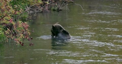A wide shot of alone Grizzly bear eating a fish while standing in the river in Stock Footage