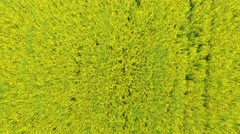 Aerial view of a canola field on a sunny day. Aerial footage. Top view. Stock Footage