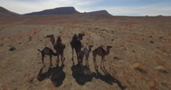 Drone footage of camel family standing on landscape, Erg Chebbi, Morocco Stock Footage