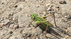 Grasshopper green, close-up insect on the ground Stock Footage