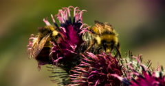 Busy Bee and Sleeping Bee on Burdock Blossom Macro Stock Footage