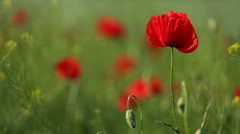 red poppies on the field - stock footage