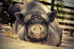 Lazy pig resting on the ground at bio farm Stock Photos