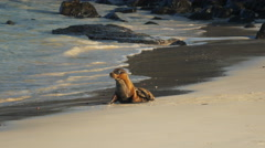 Baby sea lion on a beach at isla santa fe in the galapagos Stock Footage