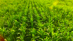Aerial View. Flying over the corn field.  Aerial drone shot. Stock Footage