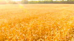 Aerial View. Flying over wheat field with sunlight . Aerial drone shot. Arkistovideo