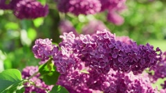 Lilac flowers background - stock footage