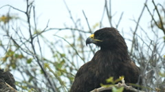 Close up of a nesting galapagos hawk on isla espanola in the galapagos Stock Footage