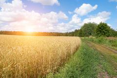 A wheat field, fresh crop of on a sunny day. Rural Landscape Stock Photos