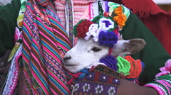 Close up of a baby llama being held by a girl in cusco, peru Stock Footage
