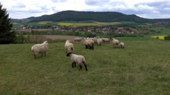 Grazing sheeps in the pasture Stock Footage