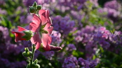 Bumble bee collecting pollen on a flower mallow during sunset. Stock Footage