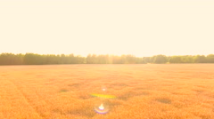 Aerial View. Flying over wheat field with sunlight . Aerial drone shot. - stock footage
