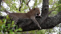 Leopard lying comfortable on a thick branch Stock Footage