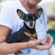 Miniature pinscher dog in old lady lap. Stock Photos